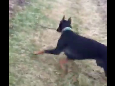 I can't stop watching this dog hurl a snake across a field
