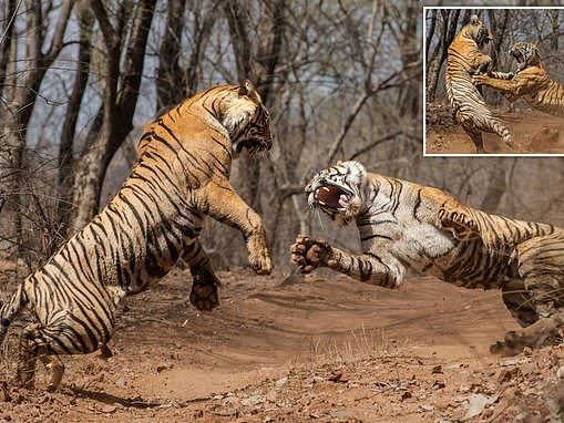 Mother tigress becomes embroiled in a fierce duel with her DAUGHTER
