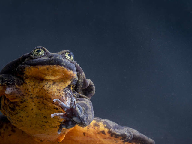 This Was The Loneliest Frog In The World — Until He Met HER