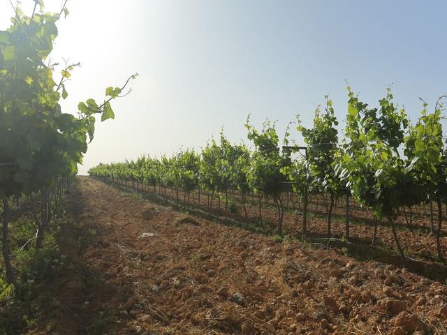 In Jordan, a wine industry takes root