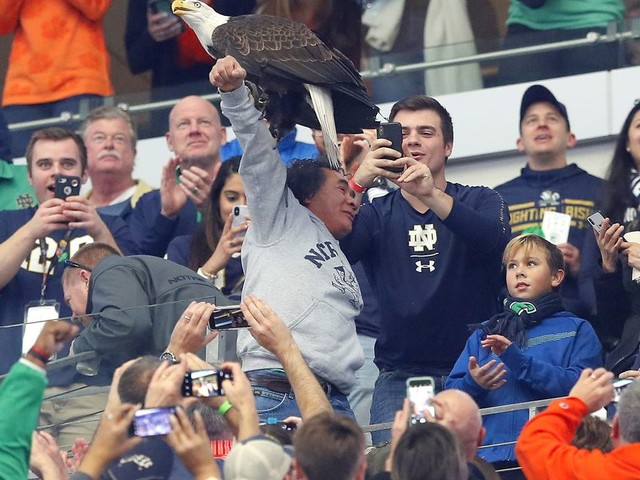 A bald eagle went rogue at college football game and landed on fans