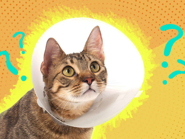 What Do I Need To Know About Neutering My Cat?