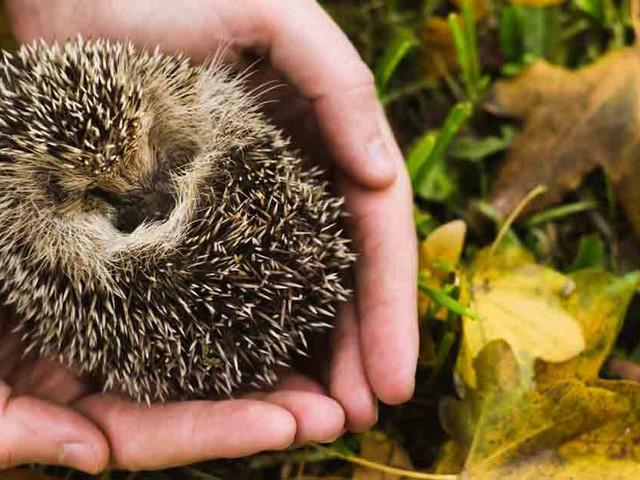 Do Hedgehogs Make Good Pets?