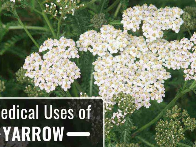 Yarrow: The Herb That Heals Wounds, and So Much More
