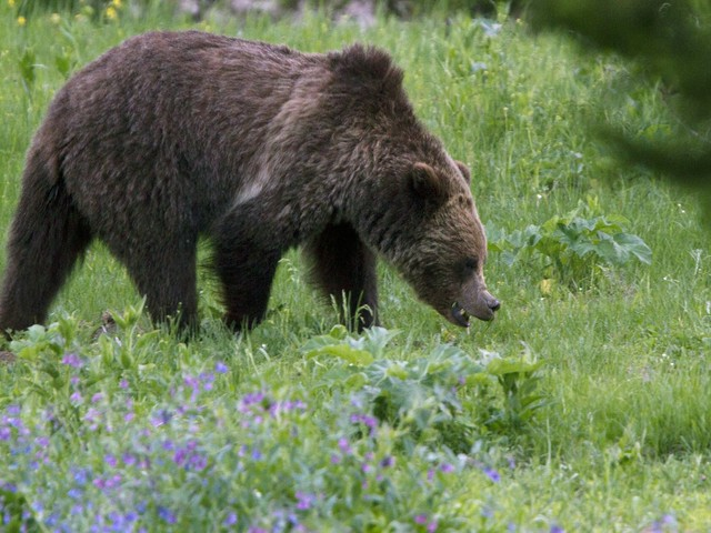 Advocates ask judge to extend delay on Rockies grizzly hunts