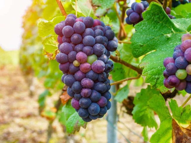 What Are Champagne Grapes?