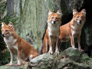 Pack of handsome wild dogs debuts at Bronx Zoo