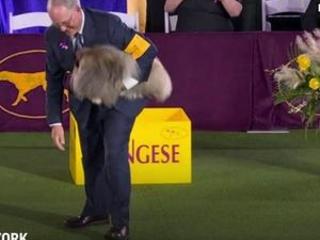 Wasabi the Pekinges wins Westminster dog show