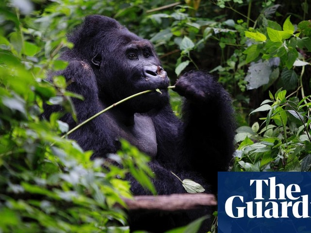 Gorillas, charcoal and the fight for survival in Congo's rainforest | Peter Beaumont