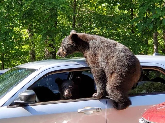 Guy Walks Outside And Finds A Whole Family Of Bears In His Car