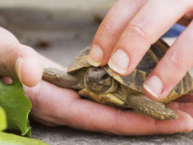 Pet Turtles Responsible for Multi-State Salmonella Outbreak