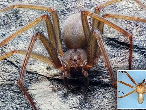 Poisonous spider that rots FLESH with a single bite found in Mexico