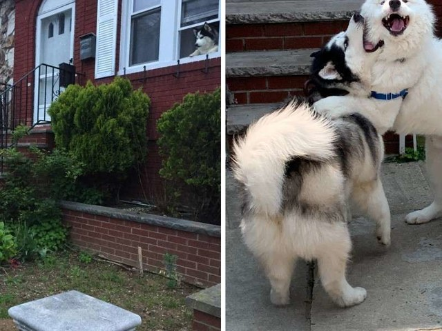 Dog Demands To Visit His Best Friend's House On Every Walk
