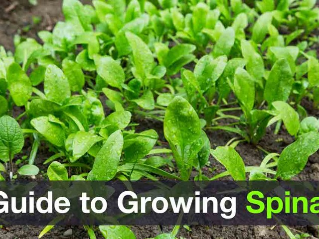 A Guide to Growing Spinach