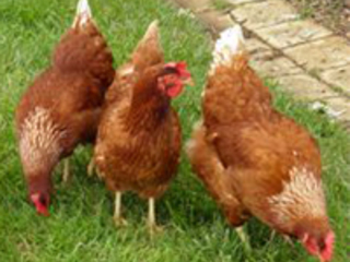 Animal Place's Run for the Chickens