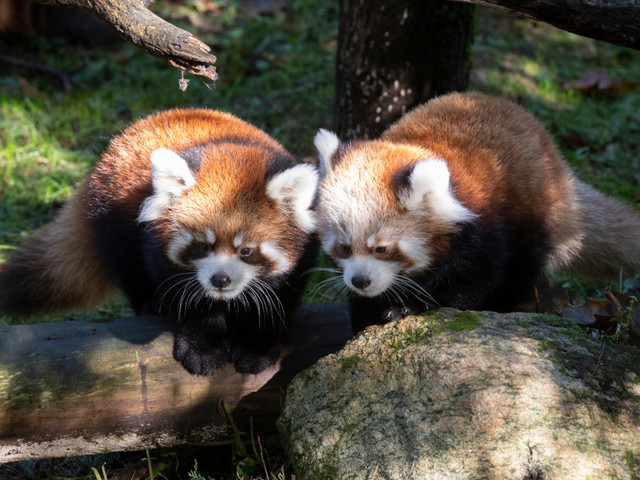 Adorable baby red pandas now on display at Prospect Park Zoo