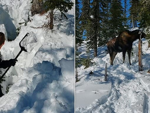 Heartwarming moment snowmobilers rescue massive moose trapped in a deep hole in the snow