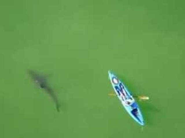 Drone Shows Great White Sharks Circling California Kayaker In Monterey Bay