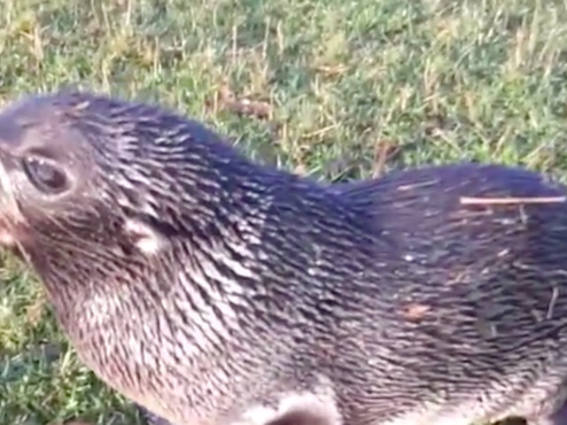 Seal pup found on farm is a long, long way from home
