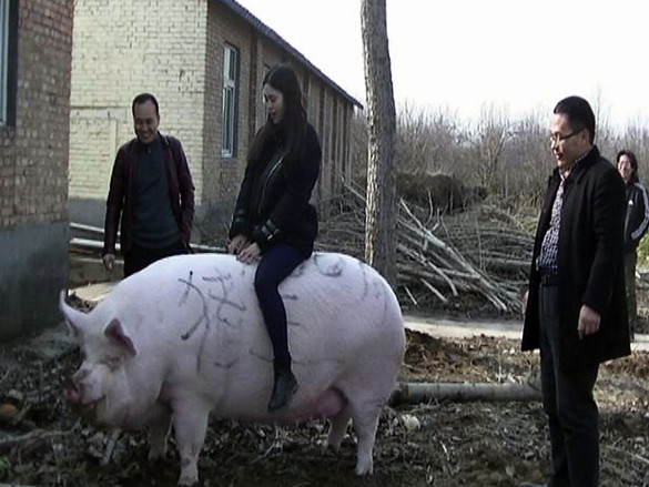 Chinese Farmers Raise Mutant Pigs The Size Of Polar Bears Amid 'Pig Ebola' Crisis