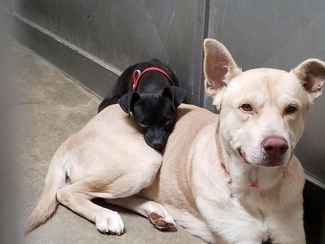 Little Dog Stuck In Shelter Won't Leave His Big Friend's Side
