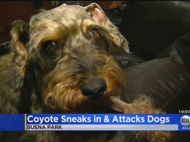 "Coyote Kills Dog After Entering Buena Park Home Through ""Doggie Door"""