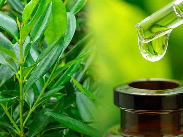 Bay Oil: The Essential Oil for Men