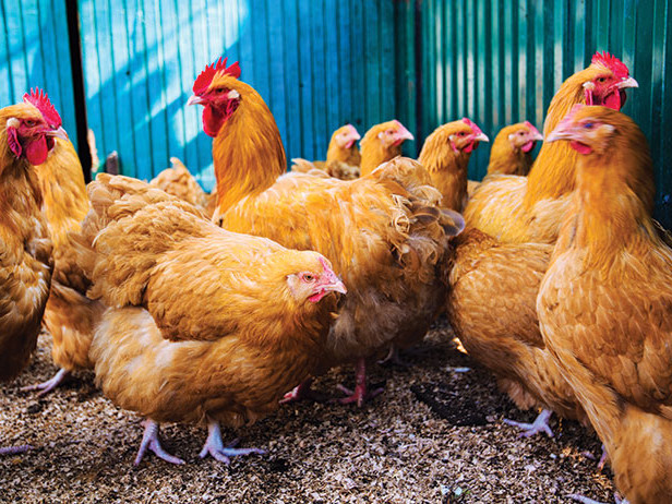 Holistic Henhouse: Home Remedies to Help Your Chickens