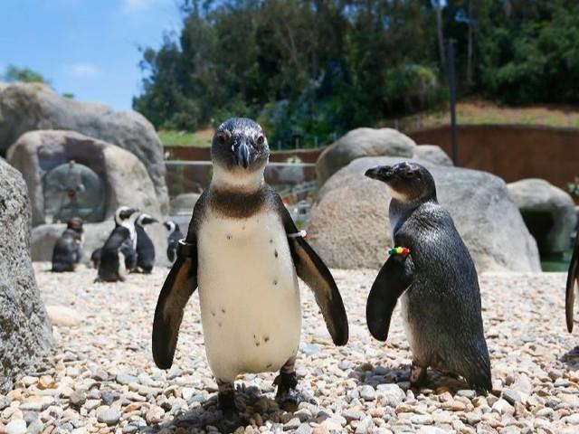San Diego Zoo gets ready to open $68-million Africa Rocks exhibit