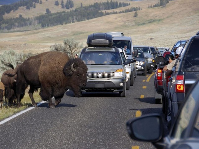 'Multiple Goring Wounds' After Woman Gets Too Close to Bison