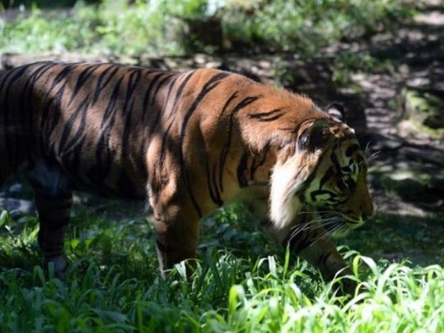 Tiger attacks keeper at Topeka Zoo. It was in full view of visitors.