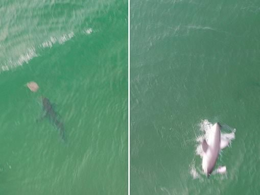 Amazing drone footage shows menacing great white shark hunting a stingray near tourist beach