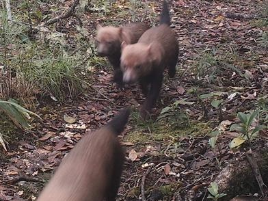 Ecologists find bush dog, native of South America, in remote central Costa Rica