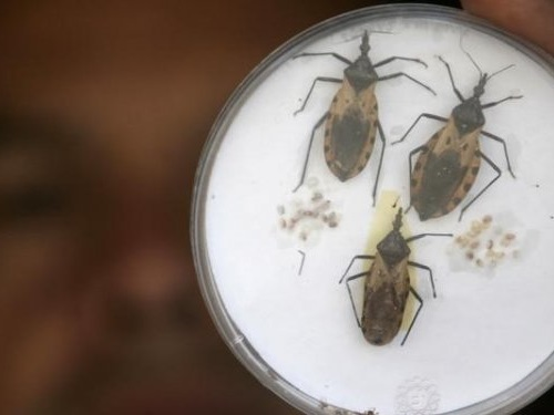 A dangerous parasitic illness spread by 'kissing bugs' that bite people's faces at night is continuing to spread in the US