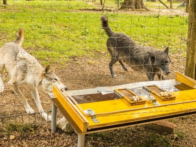 How Domestication Ruined Dogs' Pack Instincts