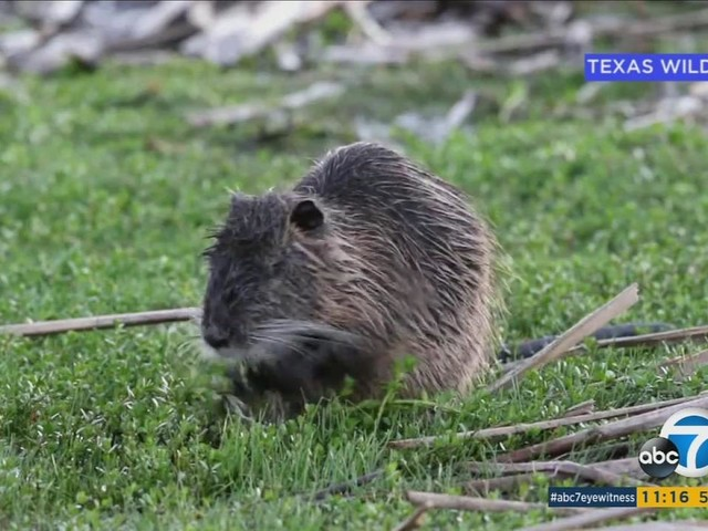 Dangerously destructive rodent species called nutria spotted in parts of California