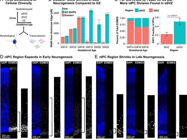 Human intermediate progenitor diversity during cortical development [Neuroscience]