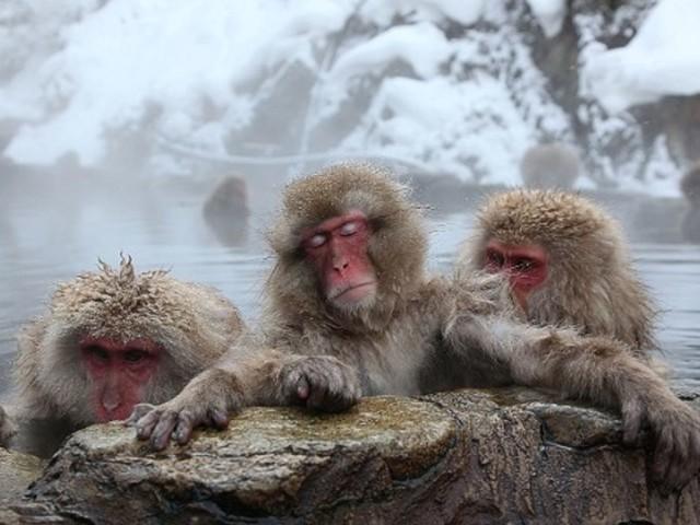 Japan's snow monkeys de-stress in hot springs