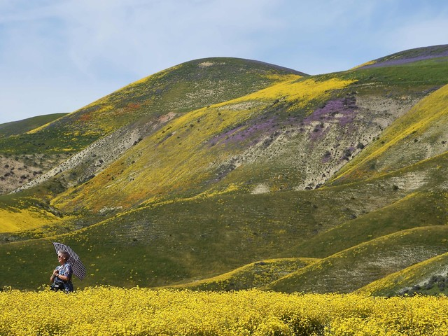 People are getting their cars stuck in mud trying to go see the super bloom wildflowers