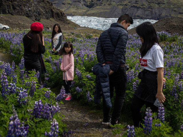 Beauty or Beast? Iceland Quarrels Over an Invasive Plant