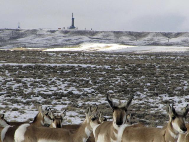 Antelope worries prompt lawsuit over Wyoming gas field plan