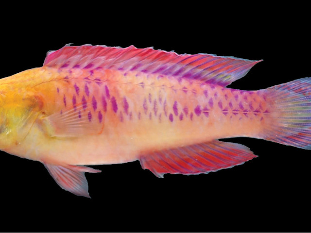 Scientists discover gorgeous new fish species, name it after Wakanda
