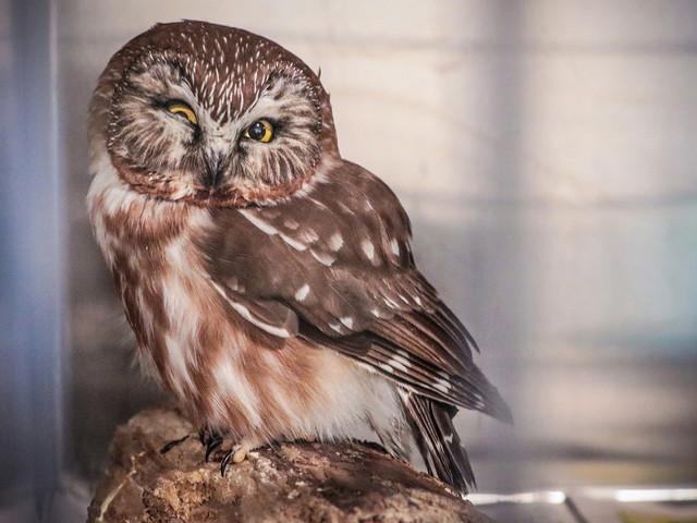 Hero teacher helps injured owl find new life