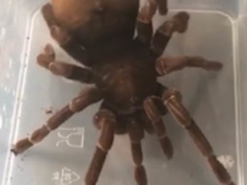 Stressed-out pregnant tarantula twerks and dances with its absomen as owner tries to re-house it