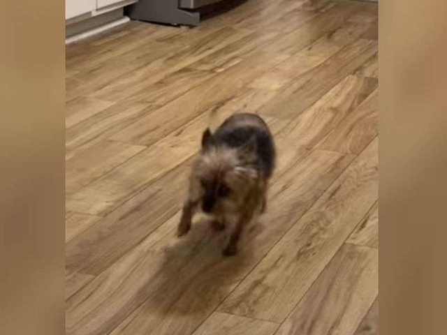 Little Dog Comes Up With Clever Way To Get More Attention