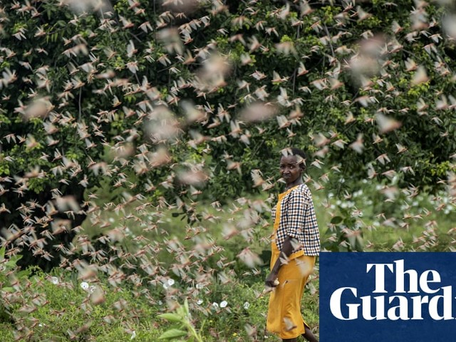 Kenya suffers worst locust infestation in 70 years as millions of insects swarm farmland