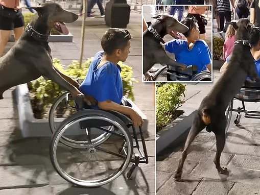 Dog pushes young man's wheelchair through a crowded plaza during a Mexican city's festival