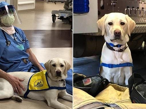 Meet Wynn, the trainee service dog on the frontline of Denver's fight against coronavirus