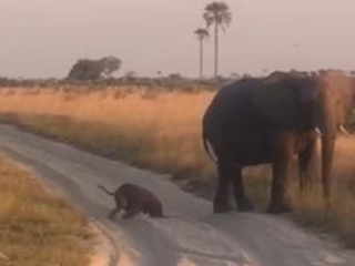 Clumsy baby elephant faceplants on sandy road