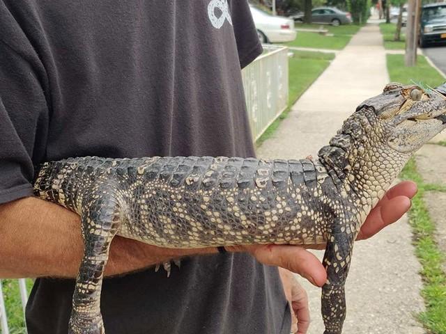 Gator-Gate? 2nd Alligator Found In NYC Area In 4 Days